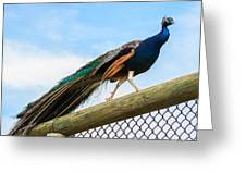 Peacock Strut Greeting Card