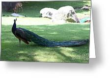 Peacock Strutting His Stuff Greeting Card