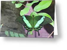 Peacock Swallowtail Greeting Card