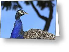 Indian Peacock Portrait Greeting Card