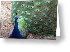Peacock Up Close Greeting Card