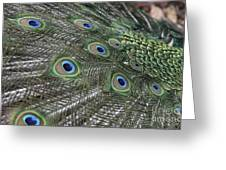 Peacock's Feathers Greeting Card