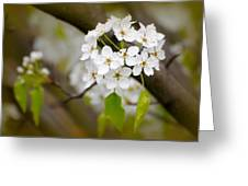 Pear Blossoms Greeting Card