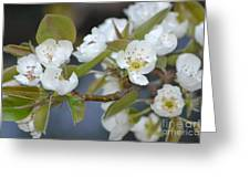 Pear Tree Blooms Greeting Card