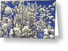 Pear Tree Blossoms In Spring Greeting Card