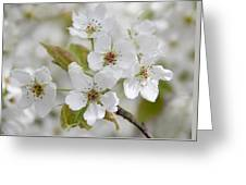 Pear Tree White Flower Blossoms Greeting Card