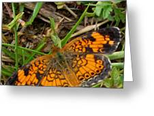Pearl Crescent Butterfly Greeting Card