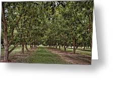 Pecan Orchard Sahuarita Arizona Greeting Card