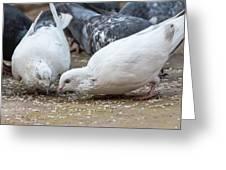 Pecking Pigeons Greeting Card