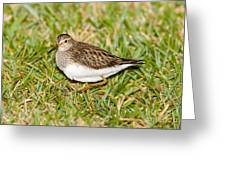 Pectoral Sandpiper Greeting Card