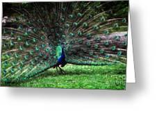 Peeacock Greeting Card