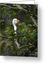 Peeking Cattle Egret Greeting Card