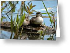 Peeking Ducks Greeting Card