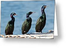 Pelagic Cormorants Greeting Card