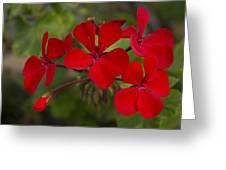 Pelargonium Greeting Card