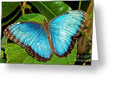 Peleides Blue Morpho Greeting Card