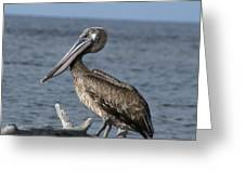 Pelican On Driftwood Greeting Card