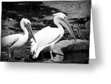Pelicans - Bw Greeting Card