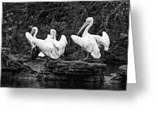 Pelicans Mono Greeting Card