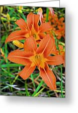 Pennsylvania Roadside Tiger Lilies Greeting Card