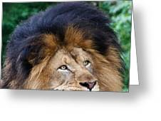 Pensive Lion Greeting Card
