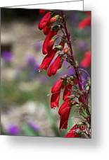 Penstemon Greeting Card