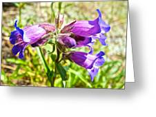 Penstemon On Miles Canyon Trail To Canyon City Near Whitehorse-yk  Greeting Card
