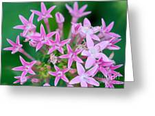 Pentas 'cranberry Punch' Flowers Greeting Card