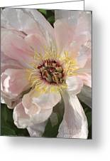 Peonie In Soft Pink Greeting Card