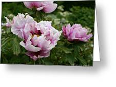 Peony Bush Greeting Card
