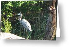 Perched Blue Heron Pondering Greeting Card