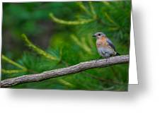 Perched Bluebird Greeting Card