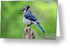 Perched Bluejay Greeting Card