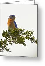 Perched Eastern Bluebird Greeting Card
