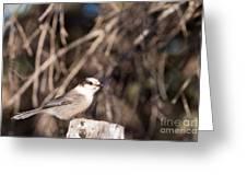 Perched Grey Jay Perisoreus Canadensis Watching Greeting Card
