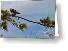 Perched Osprey Greeting Card