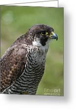Peregrine Falcon 1 Greeting Card