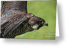 Peregrine Falcon 4 Greeting Card