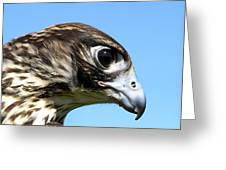 Peregrine Falcon Tashunka Greeting Card