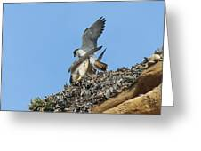 Peregrine Falcons - 5 Greeting Card