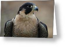 Peregrine Profile Greeting Card