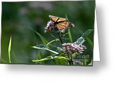 Perfect Monarch Greeting Card