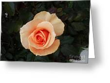 Perfect Peach Rose Greeting Card