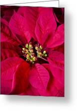 Perfect Poinsettias Greeting Card