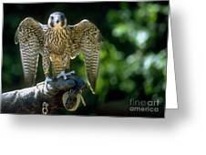 Perigrine Falcon Greeting Card