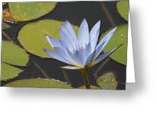 Periwinkle Lily Greeting Card
