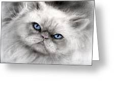 Persian Cat With Blue Eyes Greeting Card