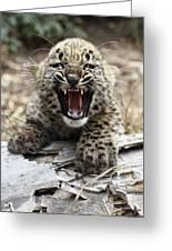 Persian Leopard Cub Snarling Greeting Card