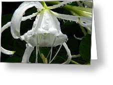 Peruvian Daffodil Greeting Card