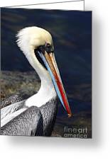 Peruvian Pelican Portrait Greeting Card